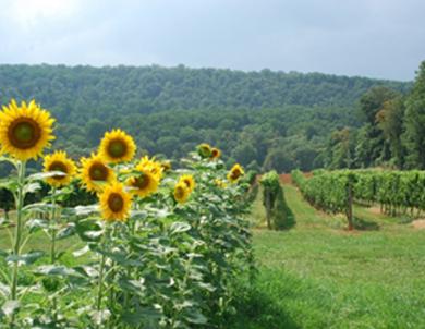 Boordy-Vineyards